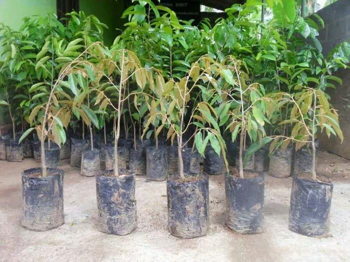 Bibit tanaman buah durian bawor (850gr)
