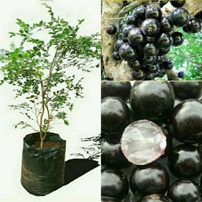 Bibit tanaman buah Anggur pohon atau Anggur brazil 850 Gram