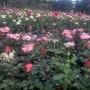 Tanaman Bunga Mawar / 1 pcs (100gr)