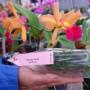 Bibit Anggrek Botol Cattleya (350gr)