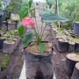 Tanaman Anthurium Bangkok Merah (400gram)