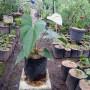 Tanaman Anthurium Bangkok Putih (400gram)