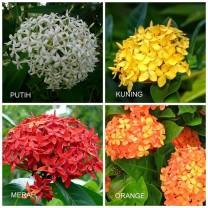Tanaman Hias Bunga Asoka (200gr)