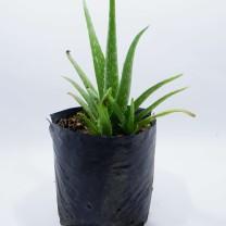 Tanaman Herbal Lidah Buaya / Aloe Vera (250gr)