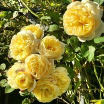 Tanaman Mawar Rambat Kuning (100gr)