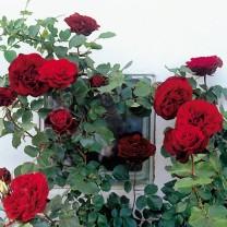 Tanaman Mawar Rambat Merah (100gr)