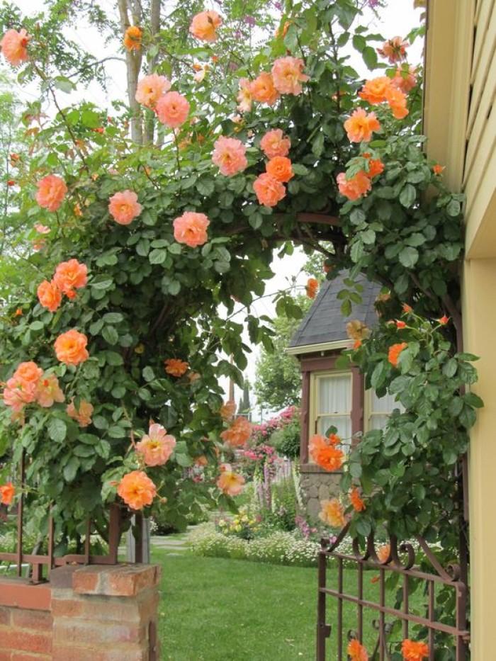 Tanaman Mawar Rambat Orange (100gr)