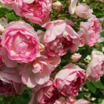 Tanaman Mawar Rambat Pink (100gr)