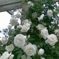 Tanaman Mawar Rambat Putih (100gr)