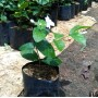 Tanaman Bunga Melati Manten (200 gr)