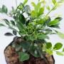 "Tanaman Pacar Cina ""Chinese Perfume Plant"" (200gr)"