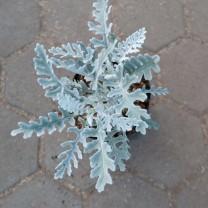 Tanaman Hias Daun SIlver Dust - Daun Perak - Putri Salju (200gr)