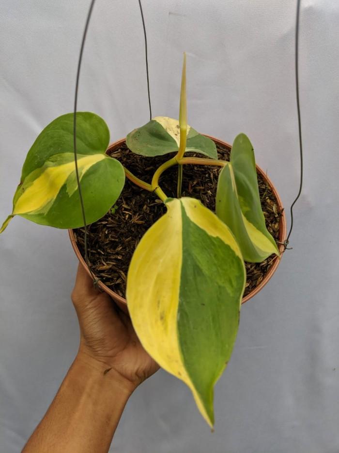 Tanaman Philodendron Scandens Medio Pictum Brazil (300 gr)
