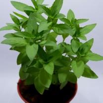 Tanaman Herbal Stevia (200gr)