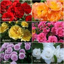 Tanaman Bunga Mawar Floribunda / 1 pcs / 100gr