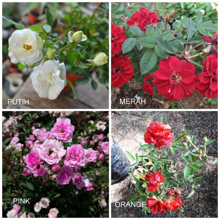Tanaman Hias Mawar Baby Rose (100gr)