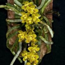 anggrek spesies chilochista javanica anggrek hantu (150 gr)