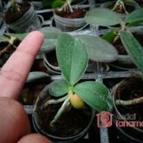 Anggrek Bulan - Phalaenopsis Seedling Hybrid (50gr)
