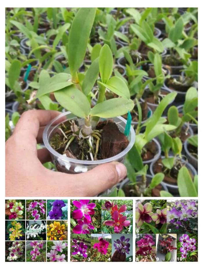 Anggrek Seedling Dendrobium (50 gr)