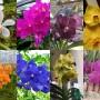 Anggrek Vanda Seedling Hybrid (50 gr)
