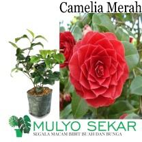 tanaman Bunga Camelia merah