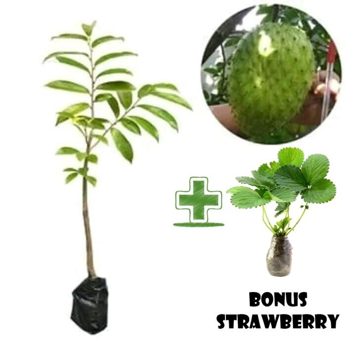 Tanaman Buah Sirsak Madu Bonus Bibit Strawberry (800gr)