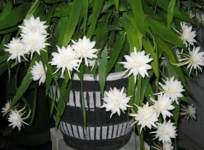 Wijaya Kusuma putih Bibit Tanaman Bunga (300)