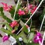 Paket Tanaman Bunga Wijaya Kusuma Kepiting isi 4 warna (500 gr