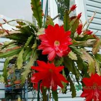wijaya kusuma mereh ackermannii Epiphyllum Orchid cactus bunga besar (300 gr)