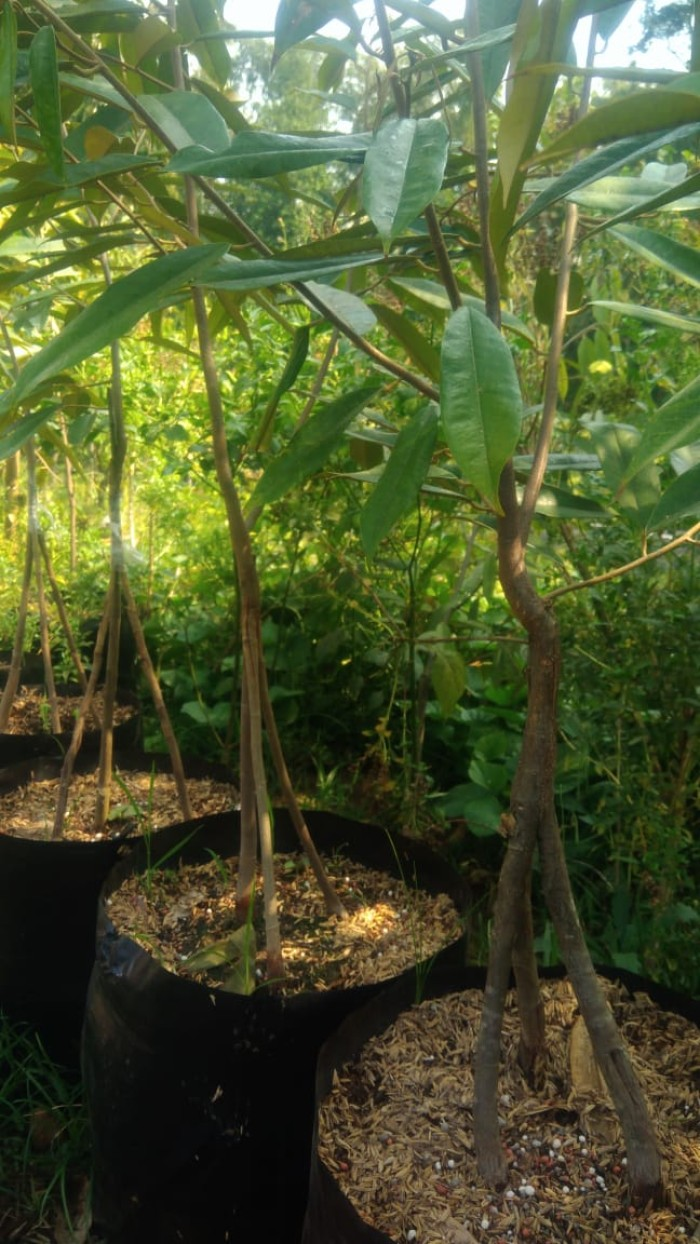 Bibit durian Musangking kaki 3 6 kg