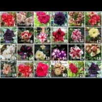 Paket 10 tanaman bunga adenium ( 1000 gram )