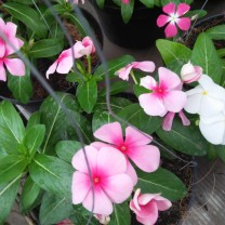 Bibit tanaman bunga vinca ( 100 gr )