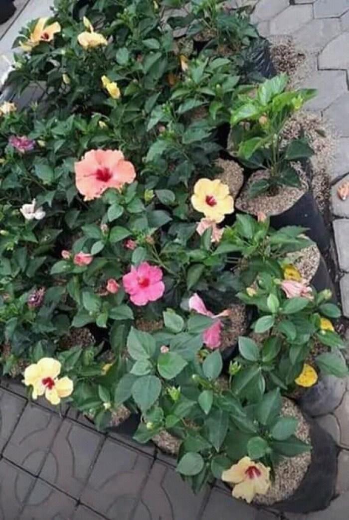 Bibit tanaman bunga sepatu (100 gr )