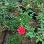 Paket 10 Mawar Rambat (1000 gram)