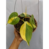 Tanaman Philodendron Scandens Medio Pictum Brazil (300 gr)