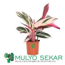 tanaman Calathea Triostar - calatea multicolor