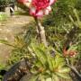 Tanaman Hias Adenium Size Jumbo